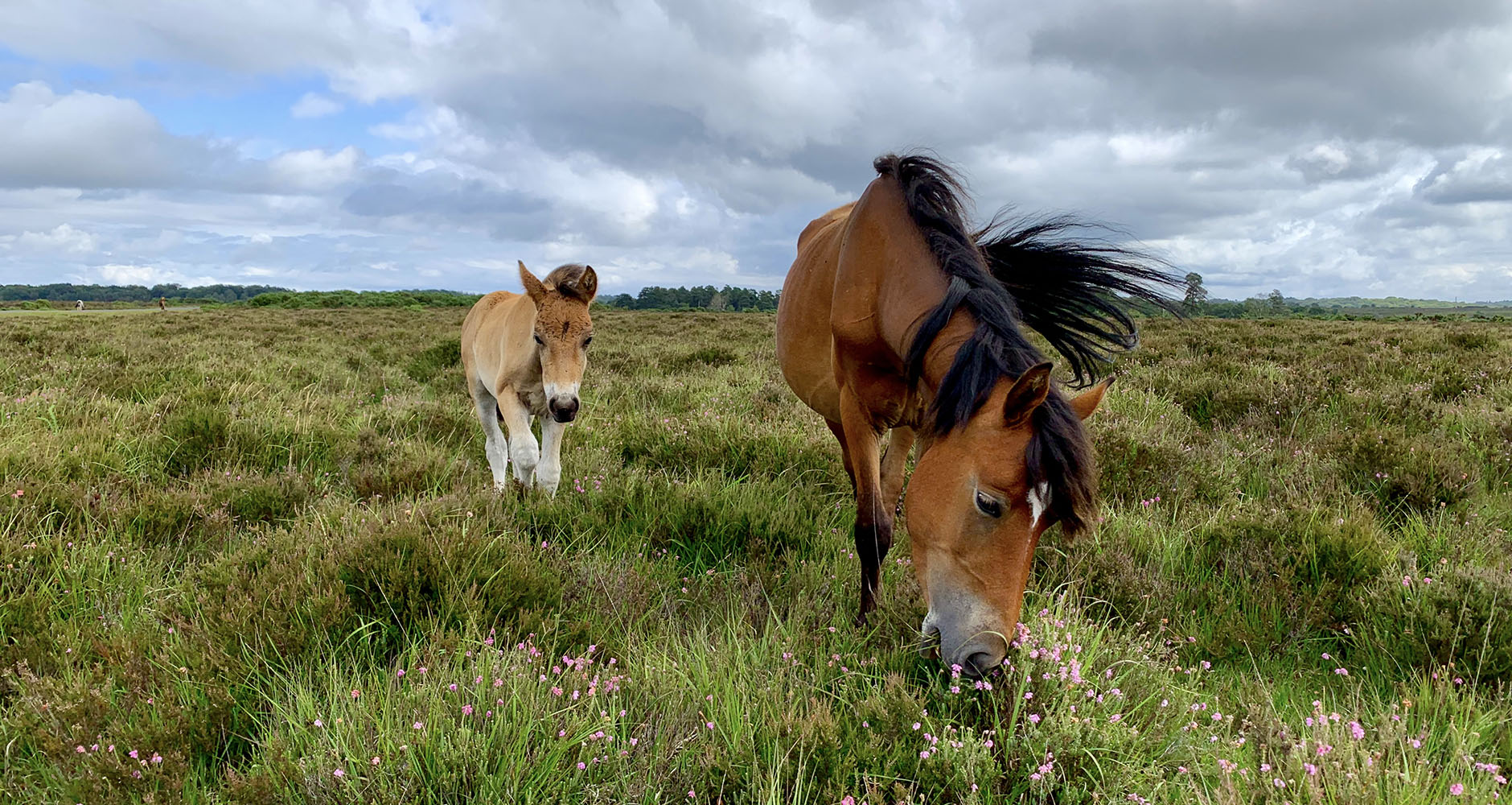 Majestic wild ponies grazing in the New Forest