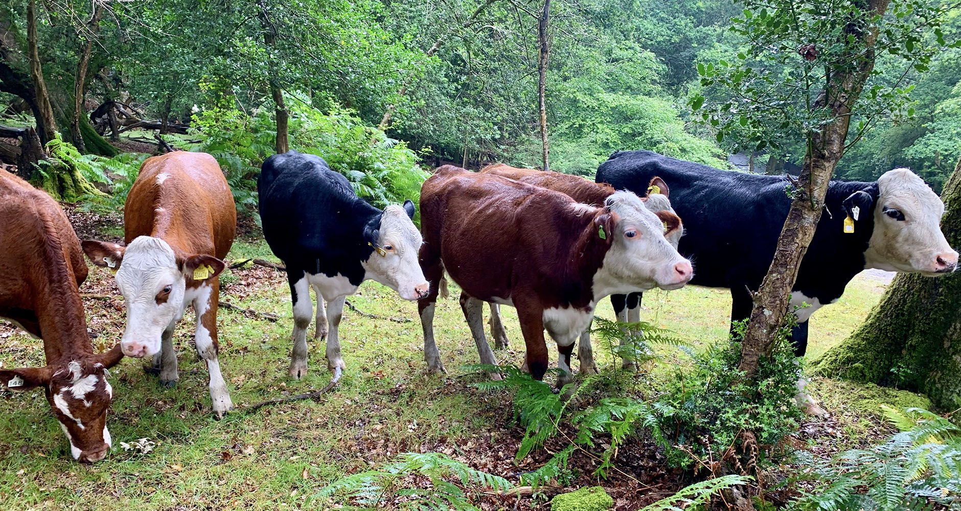 Tom's cattle living their best lives in the forest